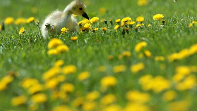 A Canada goose gosling feeds on grass and dandelion blooms on a day in May near the Missouri River in Great Falls, Montana. September 15th is the suggested date to put out preemergence for cool season weeds in Bermuda, zoysia and St. Augustine. Poa annua, henbit and dandelions can take over in winter, so be sure to take charge before these weeds do.