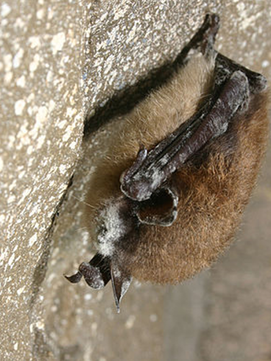 WNS-little-brown-bat-7-23-18.png