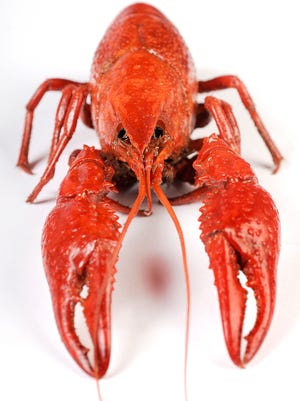Crawfish are the reason for this weekend's celebration.