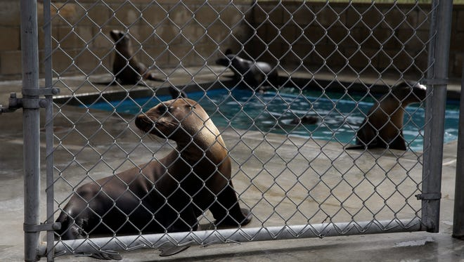 Rescued sea lions rest in a pen at the Pacific Marine Mammal Center, Monday, March 2, 2015, in Laguna Beach, Calif. Since January, more than 1,100 starving and sickly sea lion pups have washed up along California's coast. Rescue centers have taken in about 800 but are stretched thin by the demand. (AP Photo/Jae C. Hong)