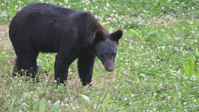 The Louisiana black bear has made a remarkable recovery since efforts began to restore the population more than 20 years ago.