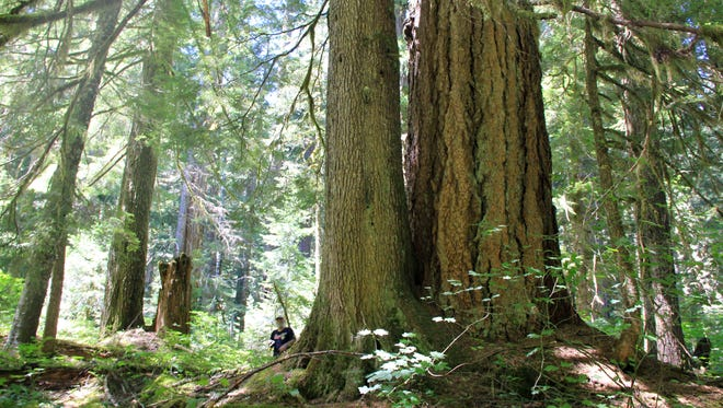 Michael Donnelly is seen in the off-trail backcounty of the Opal Creek Wilderness, among huge old-growth trees.