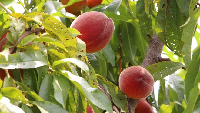 Peaches are ready to pick at Alstede Farms in Chester.