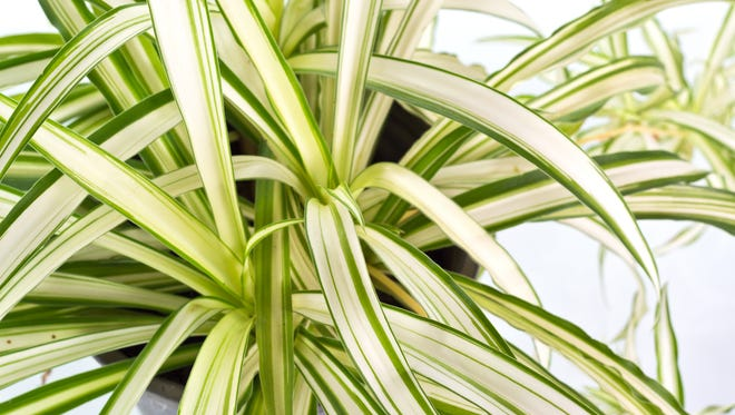 By washing spider mites from your houseplants you reduce their population and their damage.
