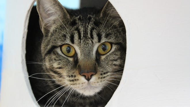 Goliath, a gray tiger cat up for adoption at the county animal services shelter in Melbourne. His ID number is 694-406