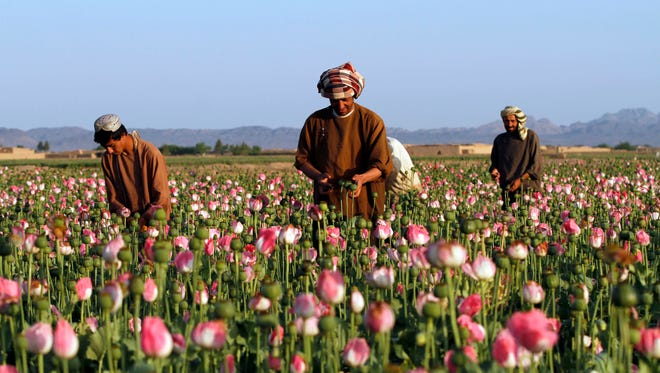 April 11 photo, Afghan farmers harvest raw opium at a poppy field in Zhari district of southern Kandahar province, Afghanistan. A recent uptick in violence across the south will worsen once the poppy crop is harvested in coming weeks and the extremists deploy gunmen to protect their vast smuggling empire, officials, analysts and diplomats are predicting. (AP Photos/Allauddin Khan)
