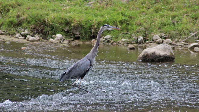 Herons like this one can be found in the White River.