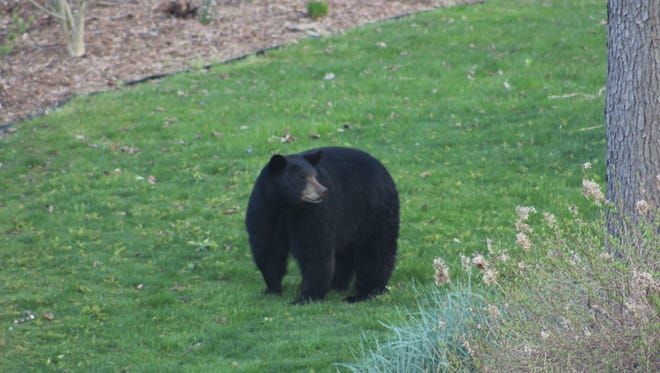 This black bear had the human population in Spencer riveted to her movements throughout the day May 17, waiting for her to reclaim her three cubs and take them back to the woods. After 14  hours, she did finally get them back to East Hill.