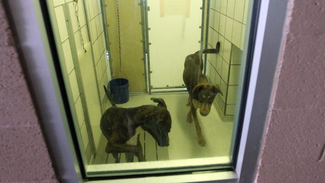 Two dogs are seen through an observation window at the adoption area of the city's Animal Services shelter at 5001 Fred Wilson.