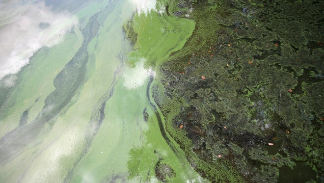 Algal blooms, seen here in Lake Munson on Saturday, July 23, 2016 are the result of nutrient pollution.
