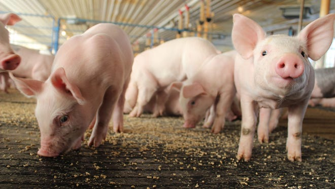 Pigs are social animals and enjoy eating together, making mat feeding an advantage for any operation. Having the ability to eat together makes it more likely for pigs to transition into the post-weaning stage easier and with less stress.