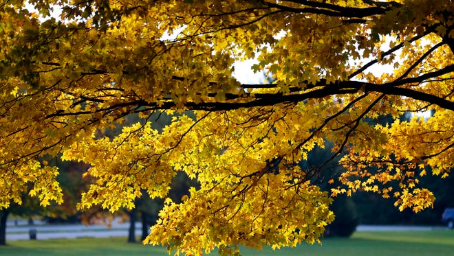Yellow leaves fill a tree at Kletzsch Park in Milwaukee during a past fall color season.