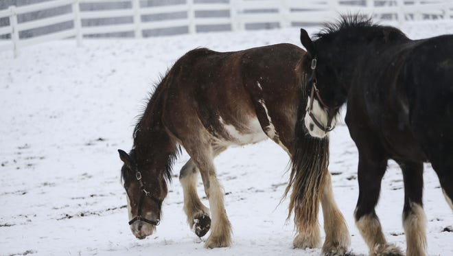 Horses forage for grass among a dusting of snow at Carousel Park in Pike Creek in February 2016.
