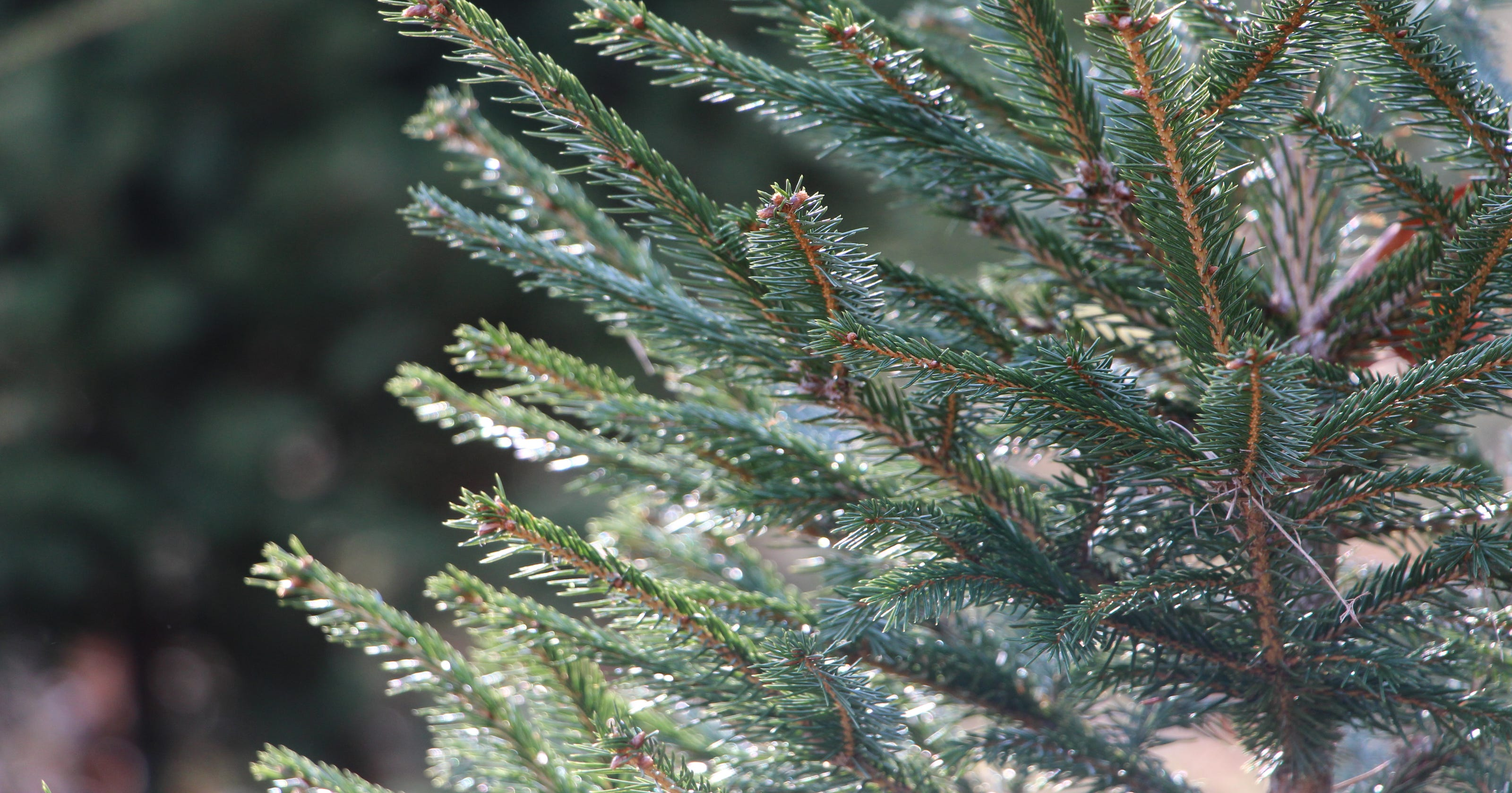 Christmas trees: Where to cut your own Christmas tree in New Jersey