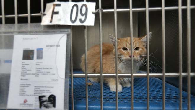 A cat awaits adoption at El Paso Animal Services.