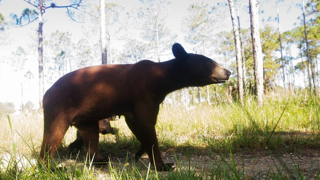News-Press photographer Andrew West set up a camera trap in the Florida Panther National Wildlife Refuge in summer of 2016. Here are the results of what animals tripped the camera while Andrew was working or sleeping in Fort Myers. A Florida panther, black bear, turkeys and bobcat, marsh rabbits and a possum were photographed.