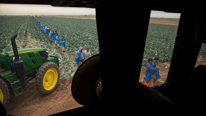 Migrant workers harvest cabbage at a farm in Yuma.
