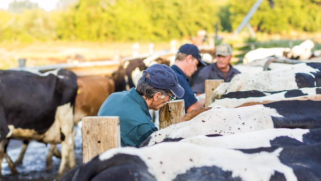 Staff with the Michigan Department of Agriculture and Rural Development conduct tests on cattle at a northeast Lower Michigan farm, to determine if they've been infected with bovine tuberculosis. Cows at a Dane County farm in Wisconsin have tested positive for the same disease, which was believed to have been spread to the animals by a former farm employee.