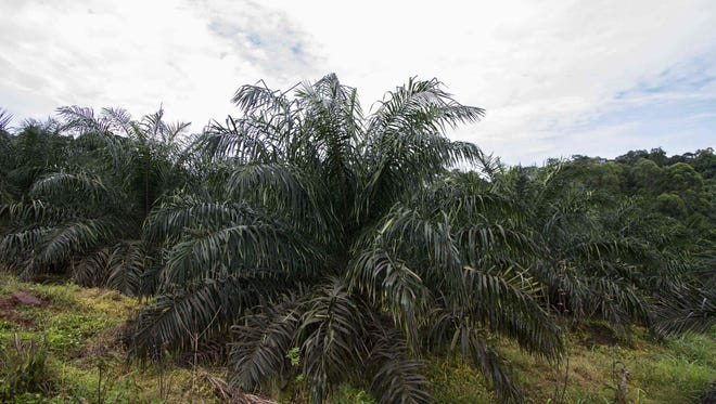 This file photo taken on May 21, 2015 shows a vast plantation of palm trees in Bumanji Parish, in the Kalangala District, Uganda.