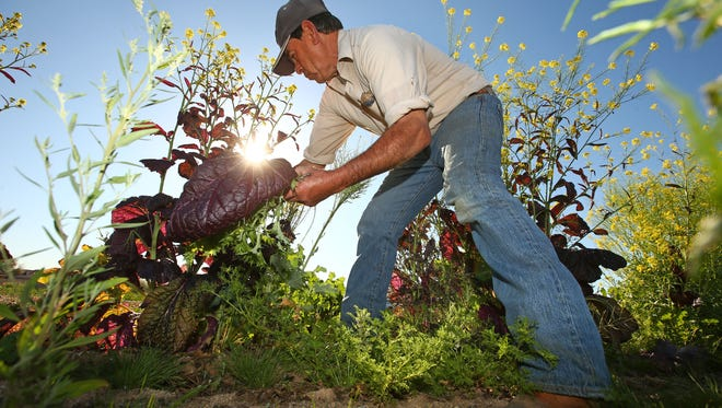 """Manuel Corrales harvests kale at the """"Spaces of Opportunity,"""" an 18-acre site including an incubator farm and community gardens near Seventh Avenue and Vineyard Road on Feb. 24, 2017 in Phoenix. The Desert Botanical Garden and South Phoenix community groups are launching a new community garden and neighborhood food system."""