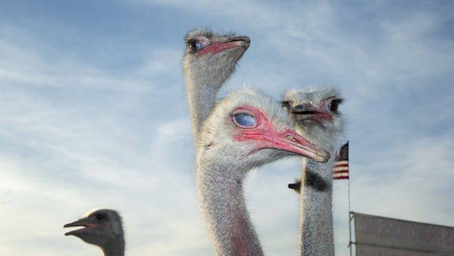 The Chandler Ostrich Festival at Tumbleweed Park in Chandler, Az., began March 10, 2017.