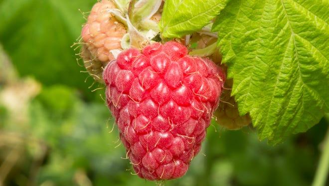 Raspberry on a branch.