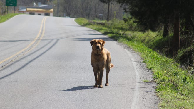 An unleashed dog walks along the road into downtown Erin.