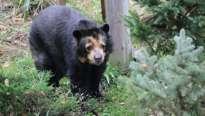 Chica, the Binghamton Zoo's Andean bear, was among the animals students studied during a summer Zoo School.