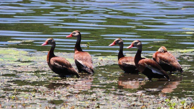 A long way from their original Central and South American home, five black-bellied whistling-ducks hung out all day recently on a private West Side lake.