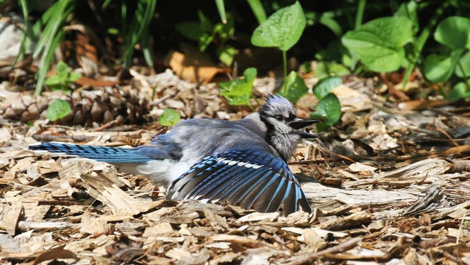 When birds sun, they fluff up feathers and spread wings and tail, allowing rays to reach their skin.
