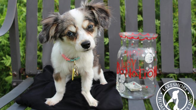 The Lakeshore Humane Society is asking for donations to fund the surgery that fixed Minny's heart defect. Minny is a four-month-old Chihuahua-Dachshund mix who was brought to the shelter in June.
