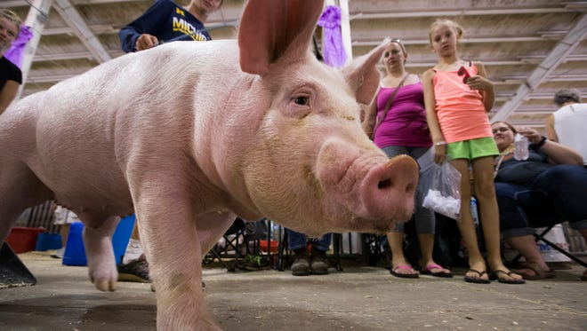 Calvin Marks walks his pig Parsley through spectators in the swine barn at Wisconsin State Fair Park in West Allis.