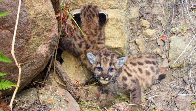 These two new mountain lion kittens have been dubbed P-59 and P-60.