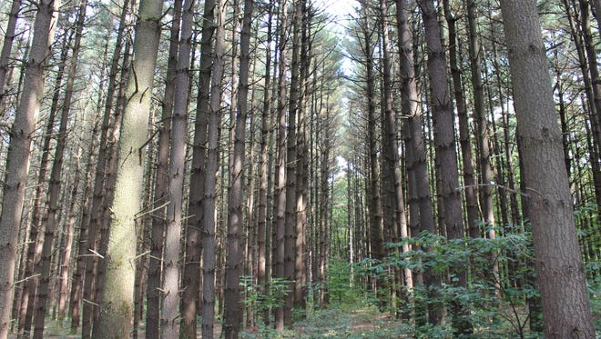 Rows of planted pines stand in Mohican-Memorial State Forest on Monday, Sept. 18, 2017. The Division of Forestry has proposed removing pines from the forest to allow for the regeneration of natural hardwood forests.