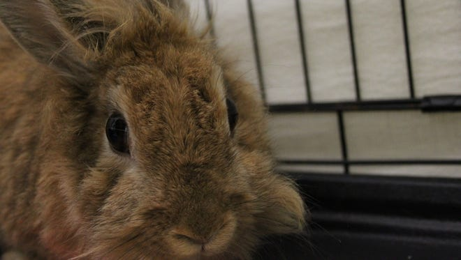 Nessa the Lionhead rabbit is very cute, very nice and likes to be petted.