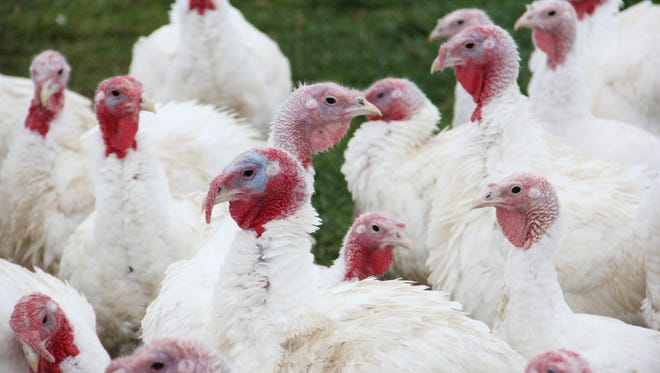 Marion Acres raises turkeys in Helvetia, a community of farmers outside Portland.