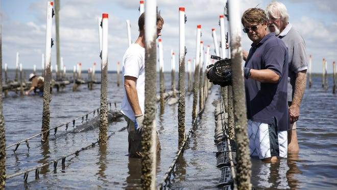 Photos by Joe Rondone/Democrat files  Bob Ballard, the director of the Wakulla Environmental Institute, works with students Matt Hodges, left, and Tim Jordan, right, to place oyster cages at their farm in Panacea. Bob Ballard, the director of the Wakulla Environmental Institute, works with students Matt Hodges, left, and Tim Jordan, far right, to place oyster cages at their farm in Panacea on Friday. Sept. 18, 2015.