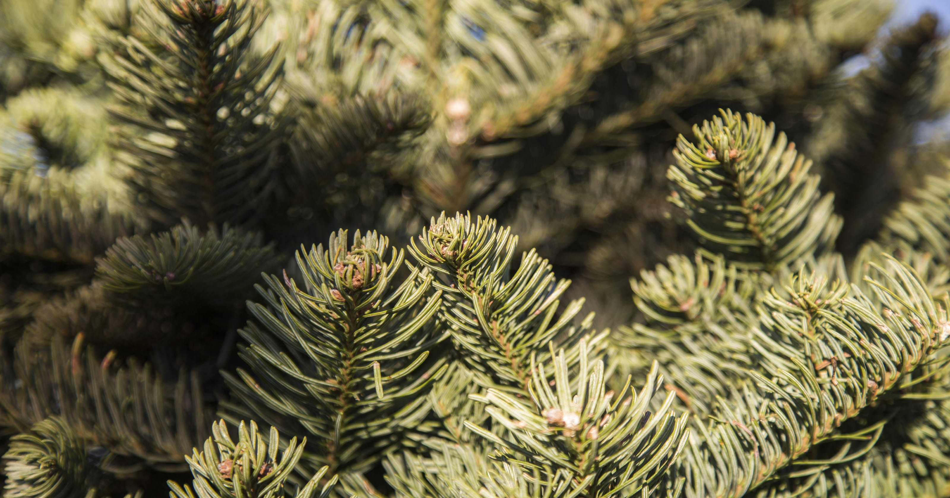 Christmas Tree Aphids.What Bugs Are Hiding In Your Christmas Tree