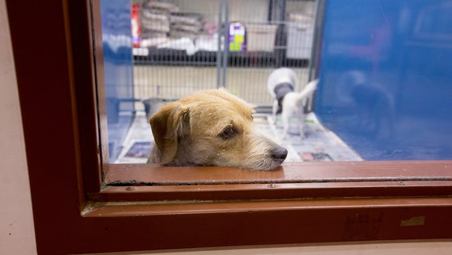 A dog at a Maricopa County Animal Care and Control shelter.