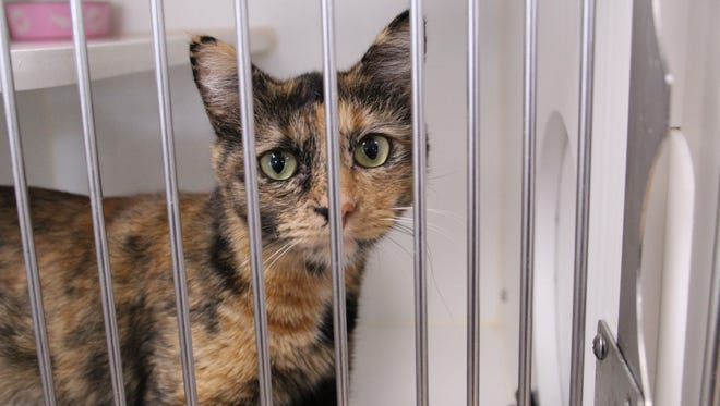 FILE: A cat peers out from one of the cages at the Salinas Animal Shelter in January 2018.