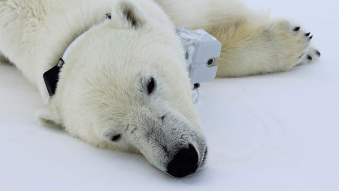 This April 20, 2015 photo provided by Busch Gardens shows a polar bear wearing a GPS video-camera collar lying on a chunk of sea ice in the Beaufort Sea. A new study shows some polar bears in the Arctic are shedding pounds during the time they are supposed to be beefing up.