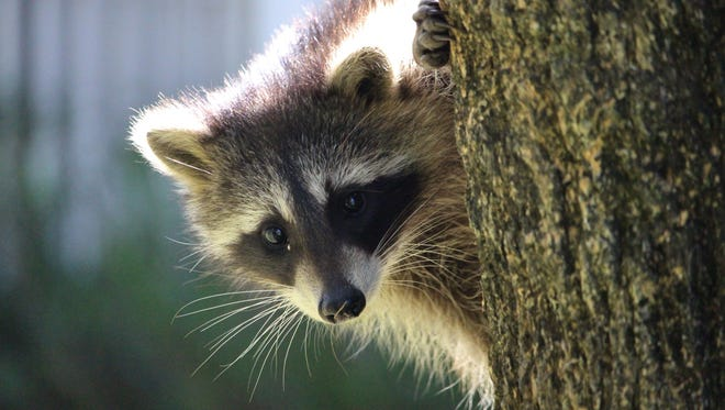 Melissa Keyes found a curious young raccoon in her neighbor's backyard in Palm City.