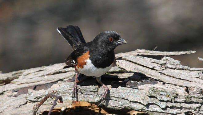 Eastern Towhee, unquestionably the loveliest of our sparrows, prefers dense, low-level vegetation for its habitat, popping out occasionally to feed or sing.