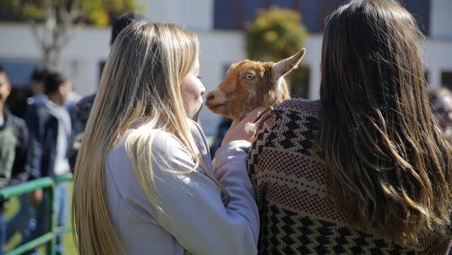 A student participates in the goat kissing contest Friday at Salinas High for National FFA week.