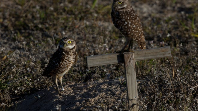 A pair of mating burrowing owls emerge from their burrow to scan their immediate surroundings Thursday, March 1, 2018 in Marco Island.