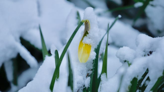 Blooming daffodils and snow are not uncommon in March.