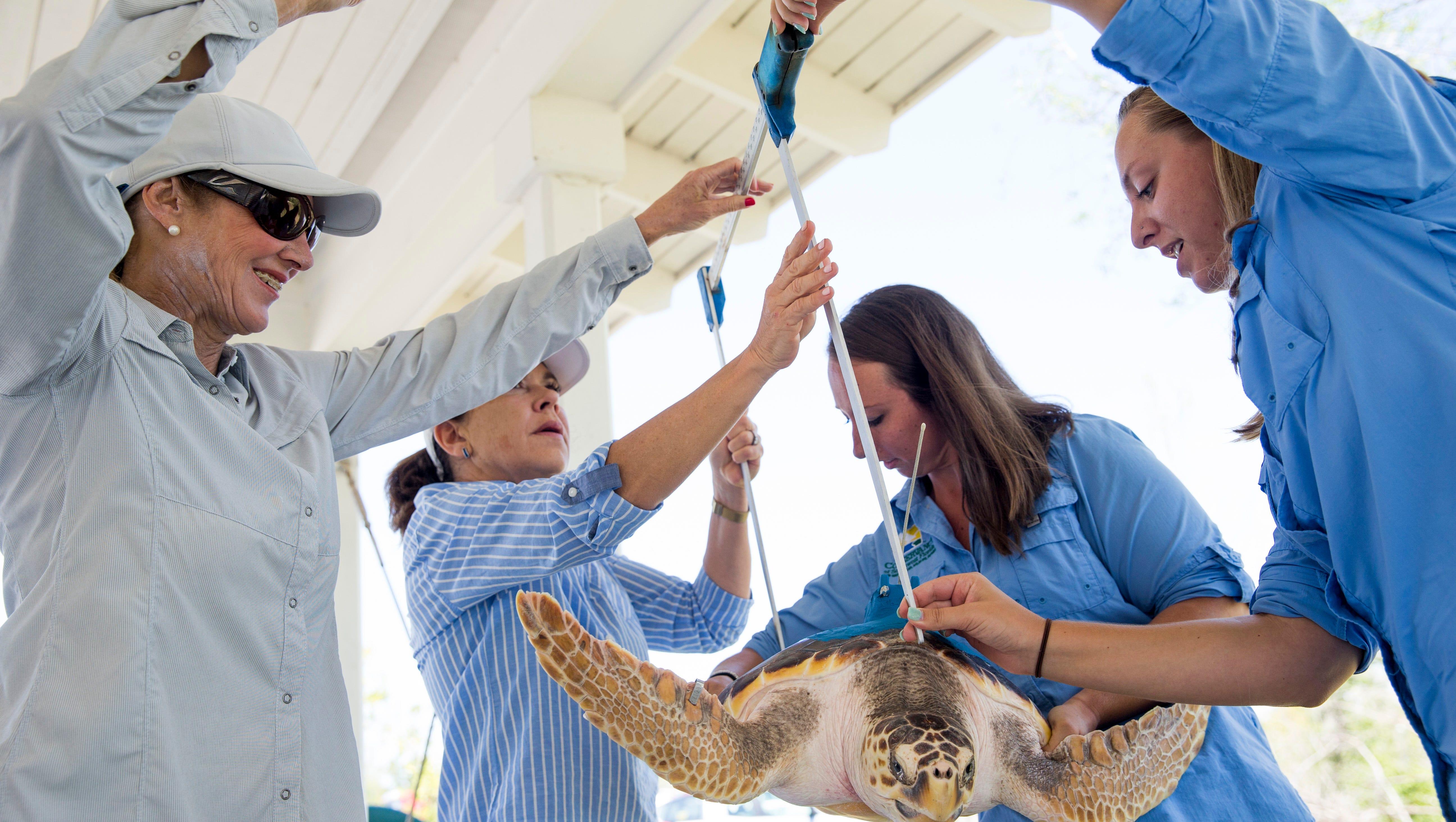 Conservancy To Track Loggerhead Sea Turtle Luna Released Near Naples