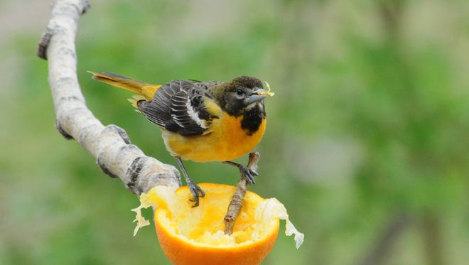 This year more Baltimore orioles than usual have turned to hummingbird feeders (made more accessible by the removal of bee guards) because they've arrived before their favorite natural foods are available.