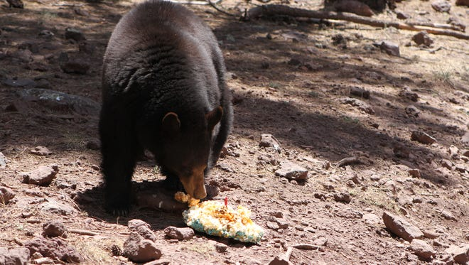 A black bear picks over a treat rarely found in the wild, part of Bearizona's birthday celebration May 22. Cakes were made of cereal, popcorn, marshmallows and fruit rolls.
