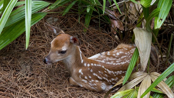 A fawn lies quietly, blending into the forest floor, while its mother forages nearby.